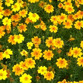 «Orange Dwarf» - Organic Tagetes Seeds