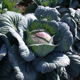 «Amager 611» - Organic Cabbage Seeds