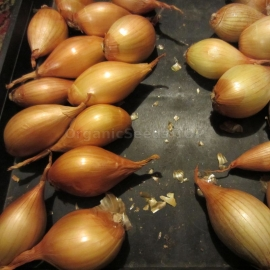 «Golden» - Organic Shallot Seeds