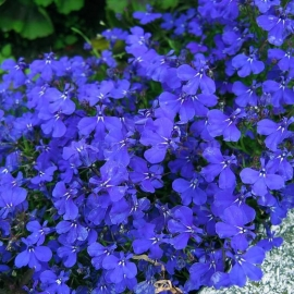 «Blue Carpet» - Organic Lobelia Seeds