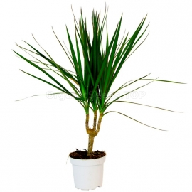 «Dragon Tree» - Organic Dracaena Seeds