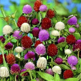 «Mix» - Organic Gomphrena Seeds