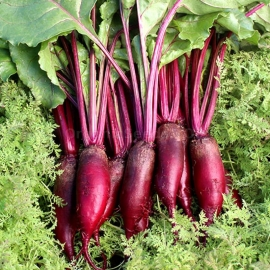 «Cylindra» - Organic Beetroot Seeds