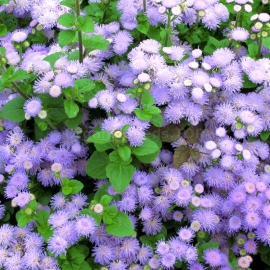 «Blue Horizon» - Organic Ageratum Seeds