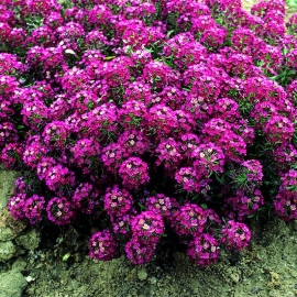 «Oriental Nights» - Organic Alyssum Seeds