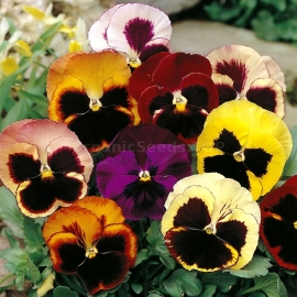 «Swiss Mix» - Organic Pansy Seeds
