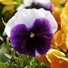 «Lord Beaconsfield» - Organic Viola Seeds
