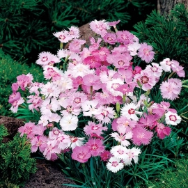 «Cottage Pinks» - Organic Dianthus Seeds