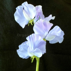 «Royal Lavender» - Organic Sweet Pea Seeds