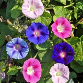 «Mixed» - Organic Ipomoea Seeds