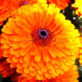 «Indian Prince» - Organic Calendula Seeds