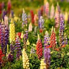 «Russell Mix» - Organic Lupine Seeds