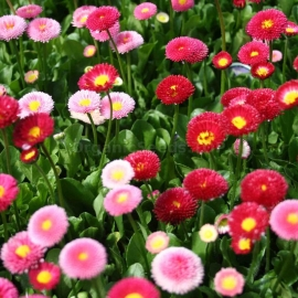 «Super Enorma Mix» - Organic Bellis Seeds
