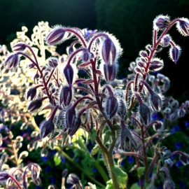 «Spring» - Organic Borage Seeds