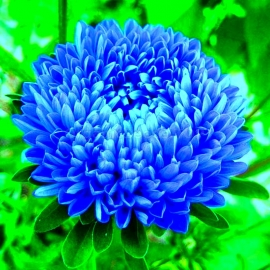«Contraster Blue» - Organic Aster Seeds