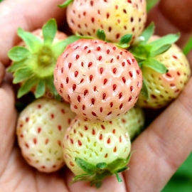 «Snow White» - Organic Alpine Strawberry Seeds