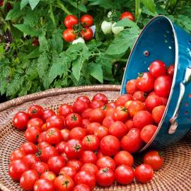 «Big Cherry» - Organic Tomato Seeds