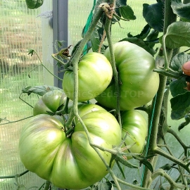 «Great White» - Organic Tomato Seeds