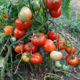 «Queen of the North» - Organic Tomato Seeds