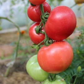 «Reckless Wheels» - Organic Tomato Seeds