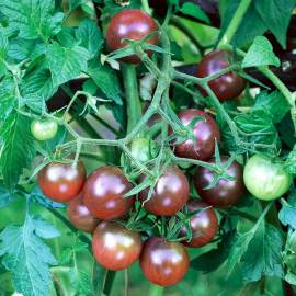 «Black Cherry» - Organic Tomato Seeds