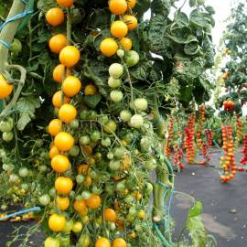 «Golden Crown» - Organic Tomato Seeds