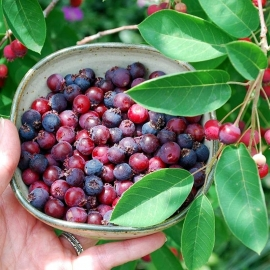 Organic Canadian Serviceberry Seeds (Amelanchier Canadensis)