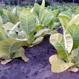 «Basma Jebel» Heirloom Tobacco Seeds
