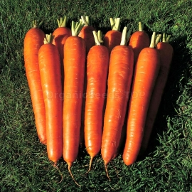 «Vitamine» - Organic Carrot Seeds