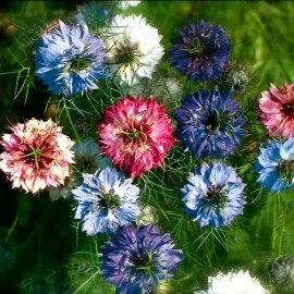 «Jewels Mix» - Organic Nigella Seeds