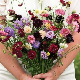 «Mix» - Organic Scabiosa Seeds
