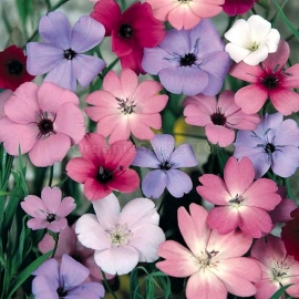 «Mix Campion» - Organic Viscaria Seeds