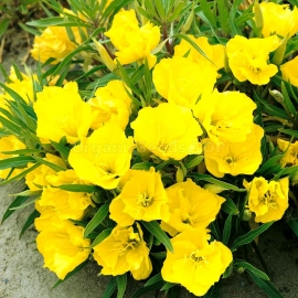 «Missouri» - Organic Evening Primrose Seeds