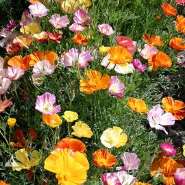 «Mix» - Organic Eschscholzia Seeds