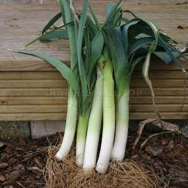 «Autumn's Giant» - Organic Leek Onion Seeds