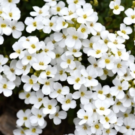 «Tiny Tim» - Organic Alyssum Seeds