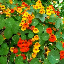 «Gleam Orange» - Organic Garden Nasturtium Seeds