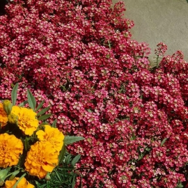 «Red Queen» - Organic Alyssum Seeds
