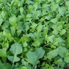 «Witch doctor» - Organic Arugula Seeds