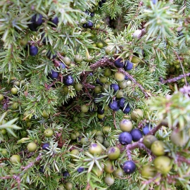 Organic Common Juniper Seeds (Juniperus Communis)