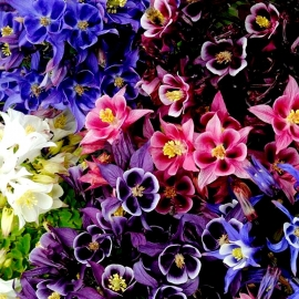«Mix» - Organic Aquilegia Seeds