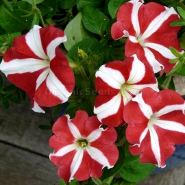 «Star Fall» - Petunia Seeds
