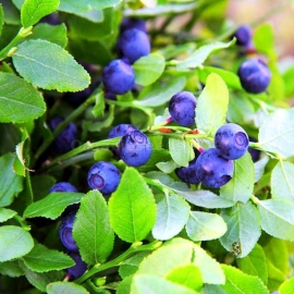 European Blueberry Seeds (Vaccinium Myrtillus)