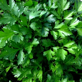«Leafy» - Organic Parsley Seeds