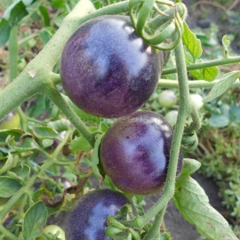 «Purple Haze» - Organic Tomato Seeds