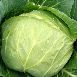 «Moscow Late» - Organic Cabbage Seeds