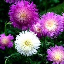 «Imperialis Mix» - Organic Cornflower Seeds