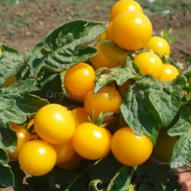 «Coin» - Organic Tomato Seeds