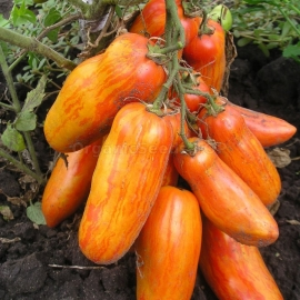 «Pepper striped yellow» - Organic Tomato Seeds