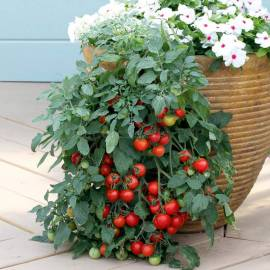 «Tumbling Tom» - Organic Tomato Seeds